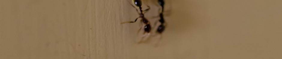 Costa Rica Ants