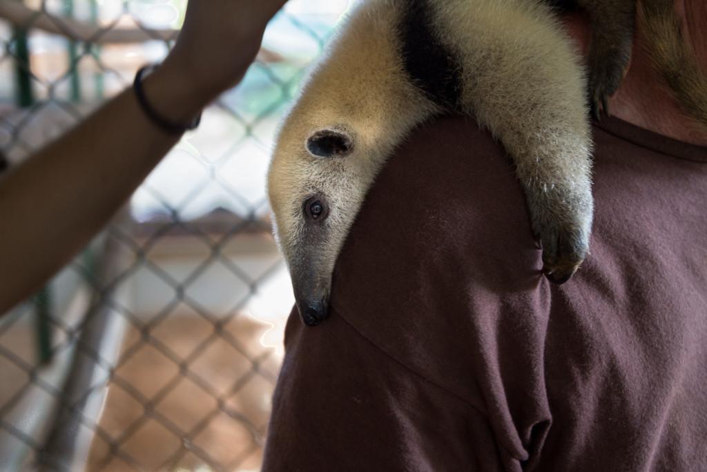 Costa Rica Anteater