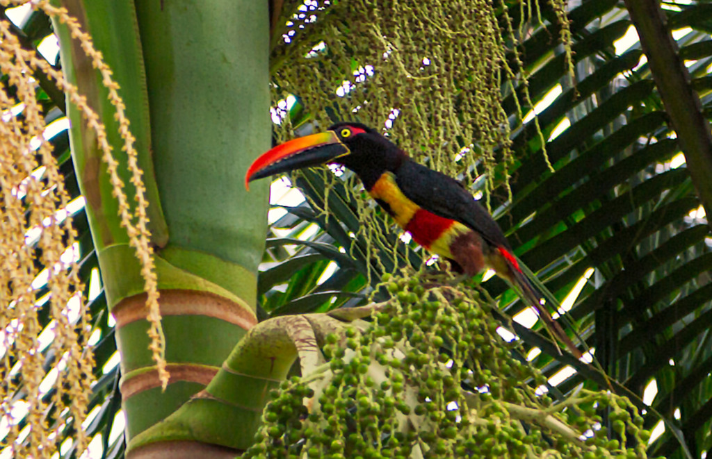 Fiery Billed Toucan