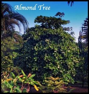 Costa Rica Amond Tree